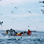 Quand les fous du Cap attaquent un banc de sardine
